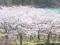 神奈川 宮ヶ瀬湖  桜 サムネイル
