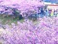 河津桜まつり情報局  サムネイル