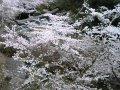 香川県 金刀比羅宮  桜 サムネイル