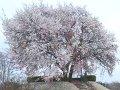 栃木 つがの里ヤマザクラ  桜 サムネイル