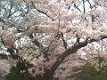 三重 三滝通り  桜 サムネイル