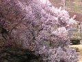 山梨 八代ふるさと公園  桜 サムネイル