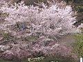 神奈川 あいかわ公園  桜 サムネイル