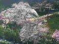 東京 毛利庭園  桜 サムネイル
