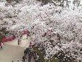 青森 弘前城天守ライブカメラ  桜 サムネイル