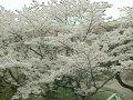 長野 アルプス公園  桜 サムネイル