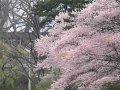 秋田 千秋公園  桜 サムネイル