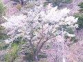 岩手 陸前高田みらい会議  桜 サムネイル