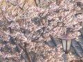 北海道 江差  桜 サムネイル