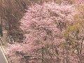 北海道 札幌大通り公園  桜 サムネイル