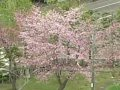北海道 紋別  桜 サムネイル