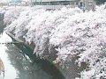 神奈川 横浜大岡川  桜 サムネイル
