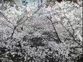 東京 春まち 中目黒  桜 サムネイル