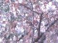 東京 飛鳥山公園  桜 サムネイル