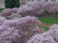 米国 ワシントン大学  桜 サムネイル