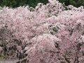 奈良 あきつの小野公園  桜 サムネイル