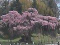福島 紅枝垂地蔵ザクラ  桜 サムネイル