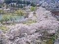 福島 開成山公園  桜 サムネイル