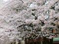 千葉習志野台の桜  サムネイル