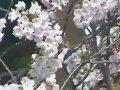 新潟 高田城址公園  桜 サムネイル