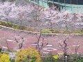 東京ミッドタウン桜並木  サムネイル
