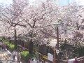 東京 目黒川沿い  桜 サムネイル