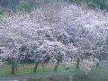 三重 宇賀川  桜 サムネイル