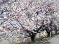 宮城 大河原一目千本桜  サムネイル