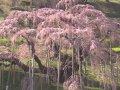 福島 三春の滝桜  サムネイル