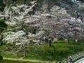 新潟 高田城三重櫓  桜 サムネイル