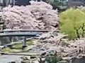 山口 長門湯本温泉  桜 サムネイル